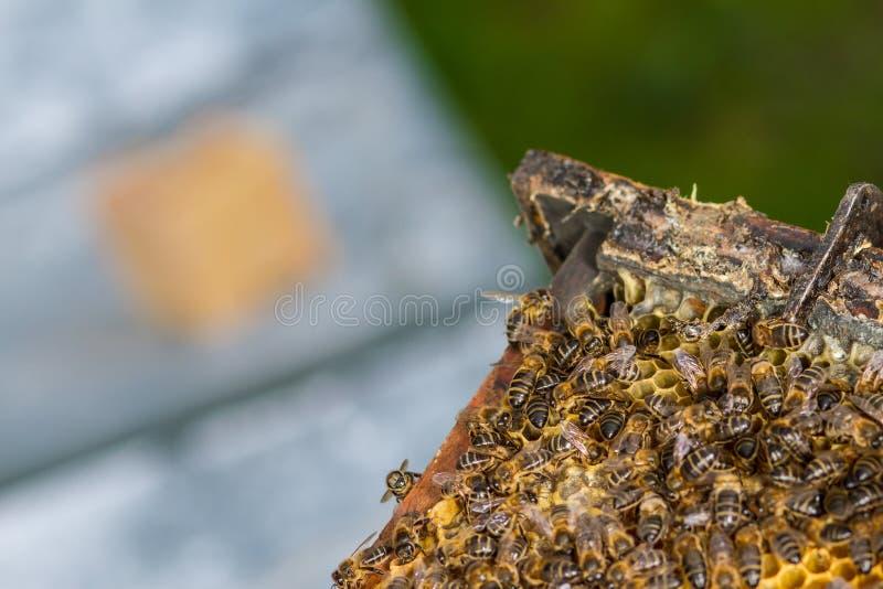 群收集了蜂蜜多只蜂 免版税库存图片