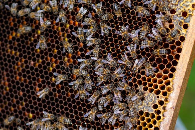 群收集了蜂蜜多只蜂 免版税图库摄影