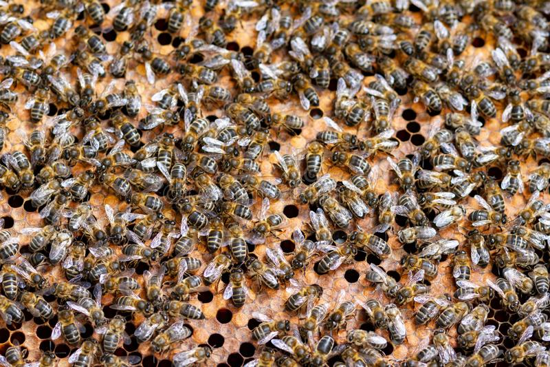 群收集了蜂蜜多只蜂 图库摄影