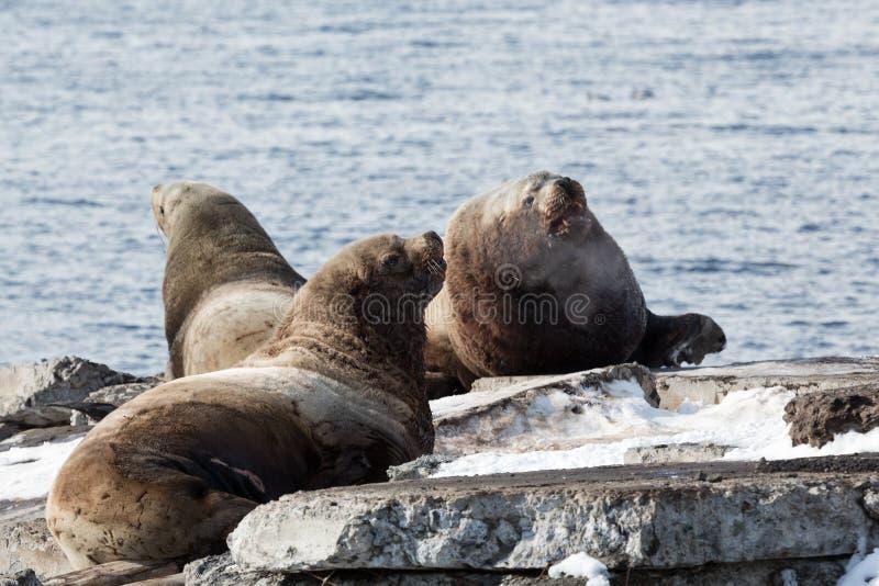 群斯特勒海狮 堪察加, Avacha海湾 库存图片