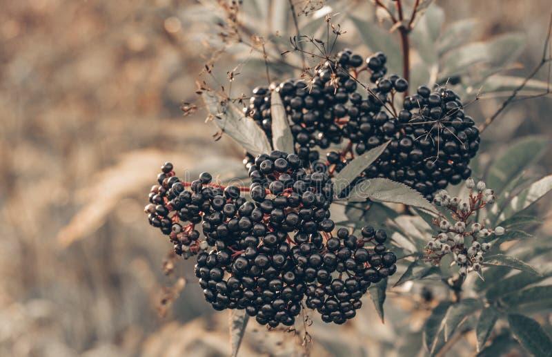 群果子黑接骨木浆果在太阳光接骨木花老黑的庭院里 长辈,黑长辈,欧洲黑接骨木浆果背景 库存图片