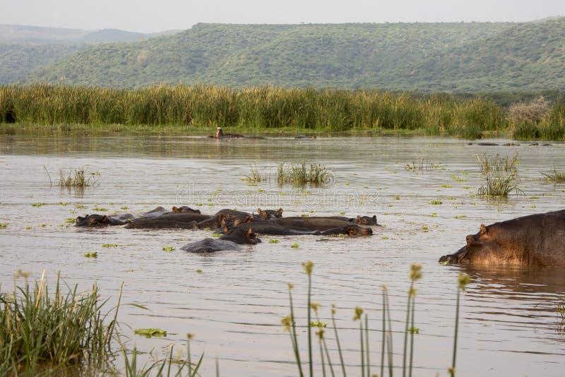 群河马,曼雅拉湖,坦桑尼亚 图库摄影