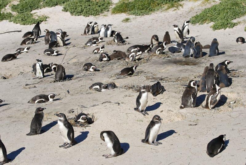 群非洲公驴企鹅 图库摄影
