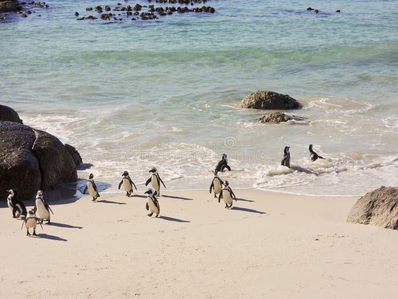 群非洲公驴企鹅 免版税库存图片