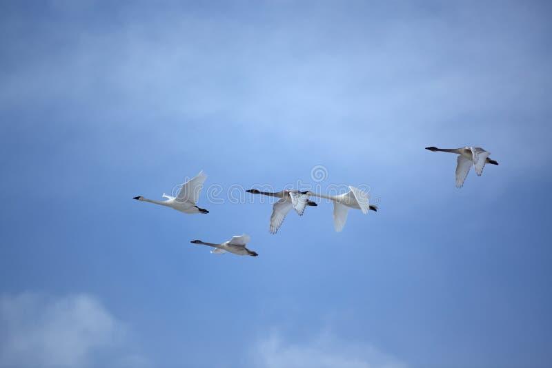 群飞行形成天鹅 库存照片