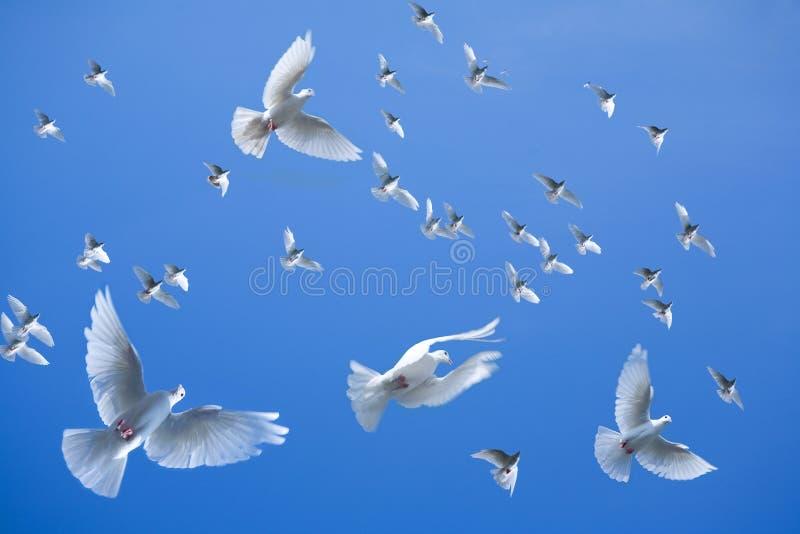 群鸽子 免版税库存图片