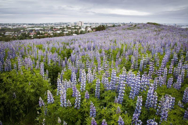 羽扇豆在ReykjavÃk,冰岛 免版税库存图片