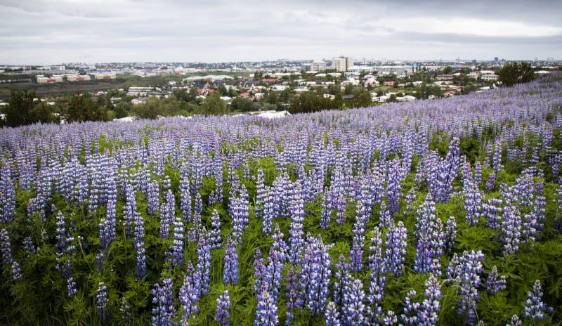 羽扇豆在ReykjavÃk,冰岛 库存图片