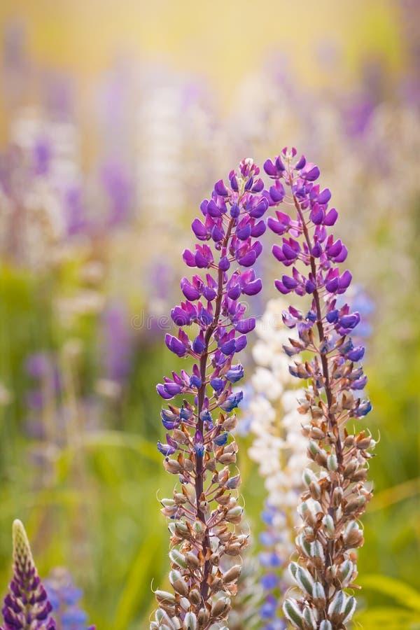 羽扇豆属、羽扇豆或者矢车菊嫩紫罗兰色,紫红色和淡紫色花在夏天晚上太阳温暖的光芒  免版税库存照片