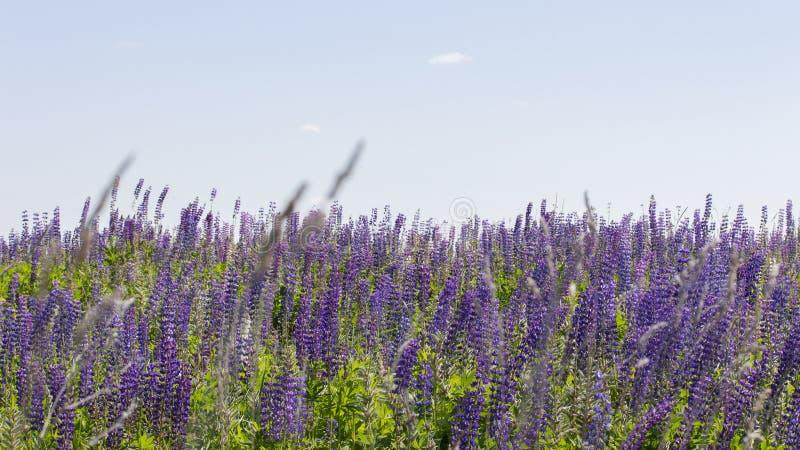羽扇豆许多花清楚的天空 全景风景背景墙纸横幅 开花的草甸蓝色淡紫色花羽扇豆 免版税图库摄影