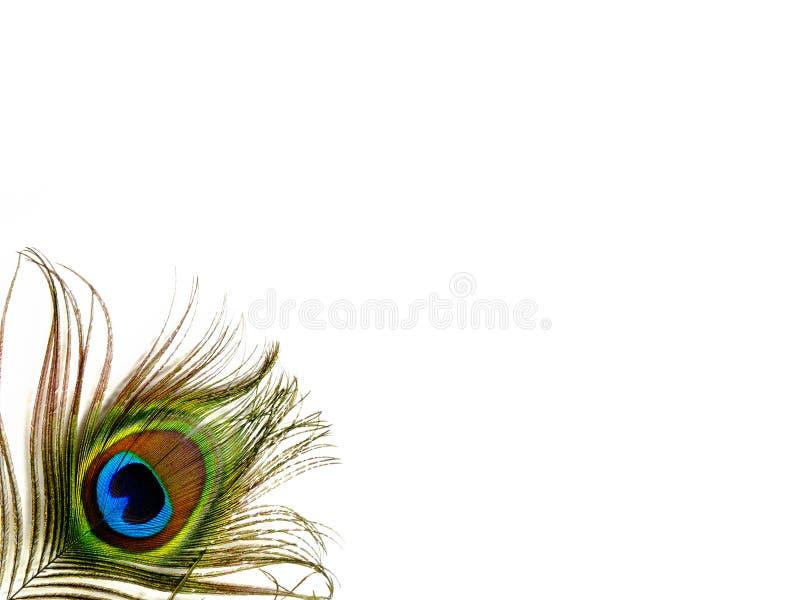 羽毛唯一查出的孔雀 库存图片