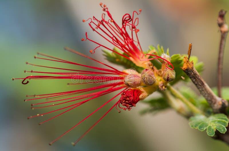 羽毛喷粉器花的独特的红色卷曲瓣 免版税库存照片