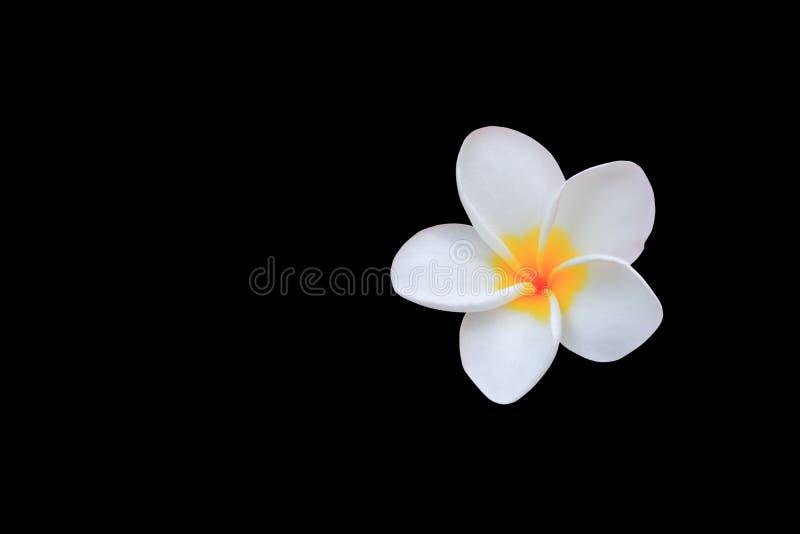 羽毛在黑背景和裁减路线共同的名字pocynaceae隔绝的花白色,赤素馨花,塔状树,寺庙tr 库存图片