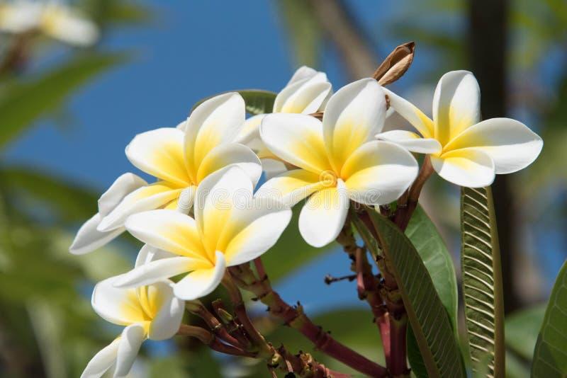 羽毛或赤素馨花开花的花  免版税库存照片