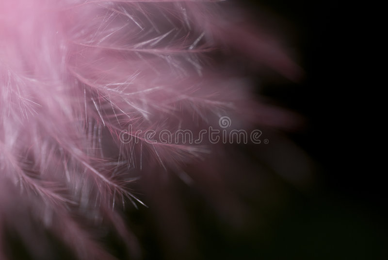 羽毛粉红色 免版税图库摄影
