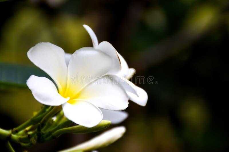 羽毛花或在被弄脏的背景的赤素馨花花白色和黄色颜色在庭院里 免版税库存照片