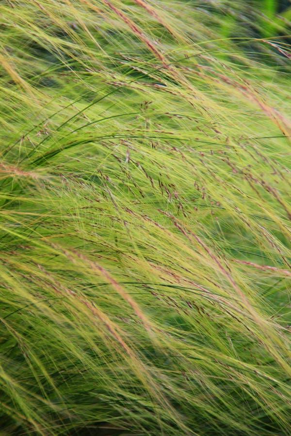 羽毛覆盖草 库存图片