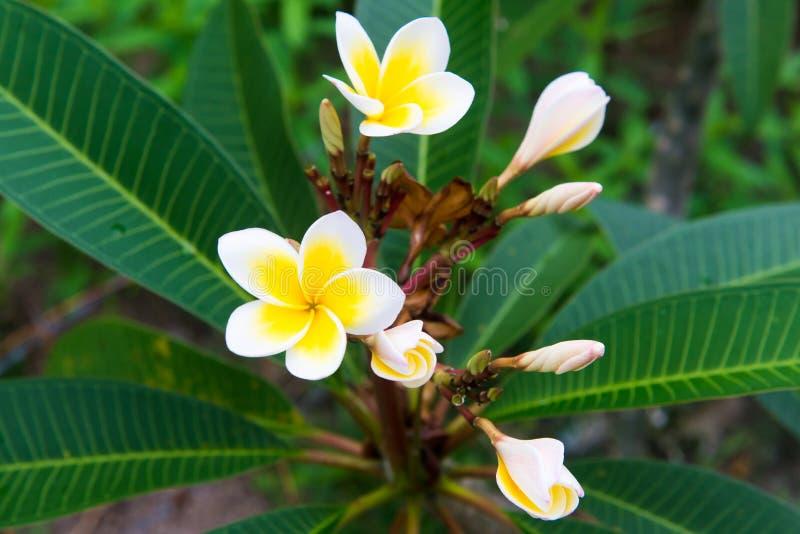 羽毛-从泰国的一朵非常美丽的花 库存图片