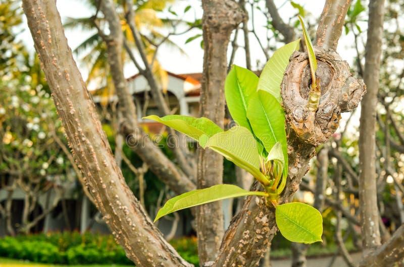 羽毛Rubra Linn (赤素馨花)在树离开 免版税库存照片