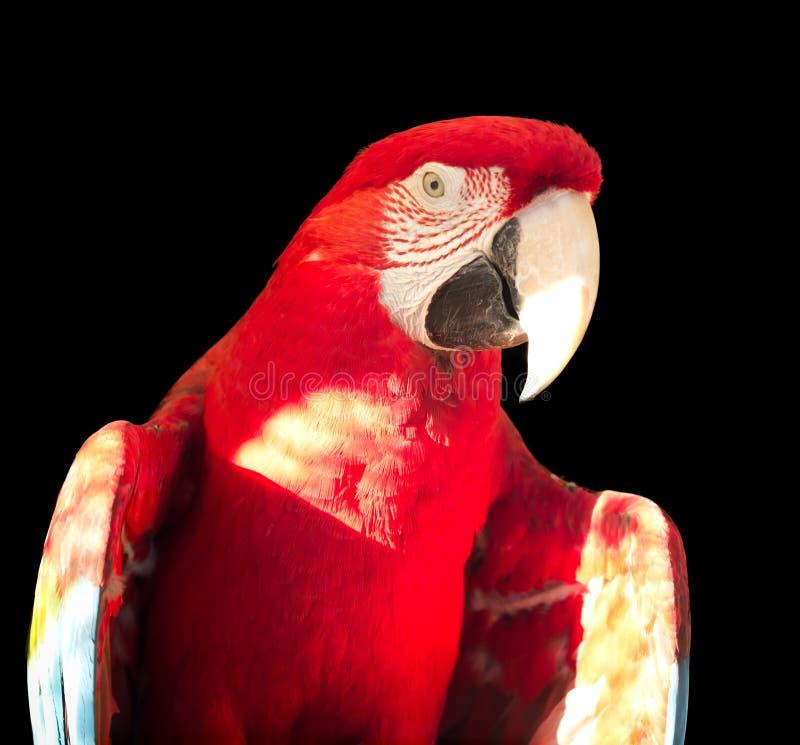 绿翅鸭金刚鹦鹉 库存图片