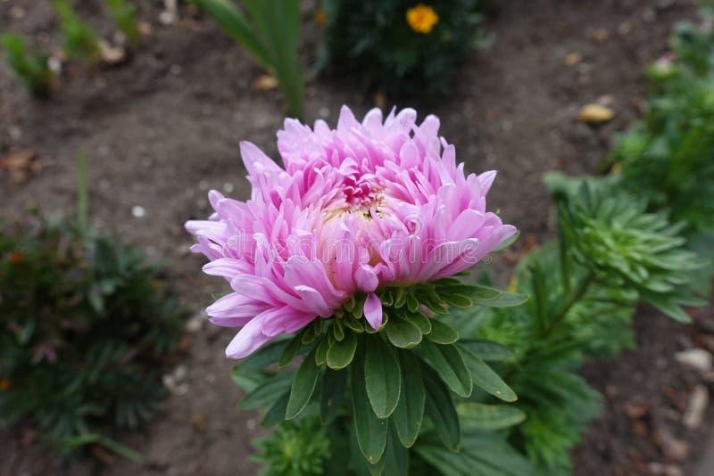 翠菊半被打开的桃红色花  库存图片