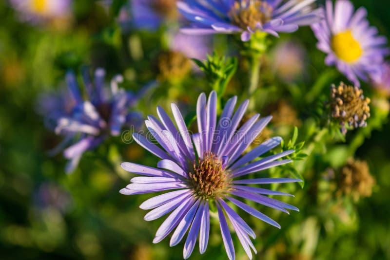 翠菊在自然绿色背景的novi belgii 库存图片