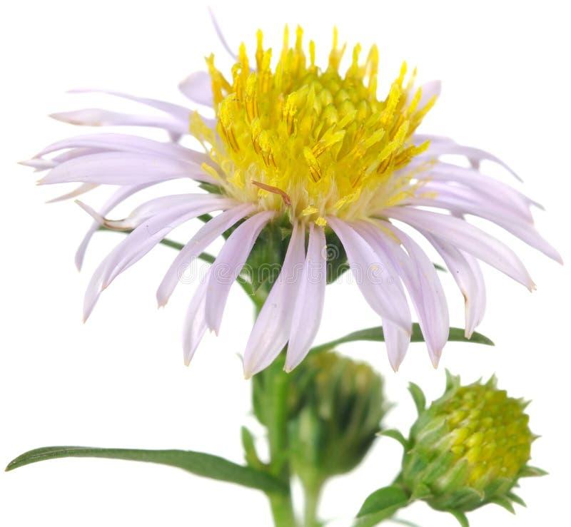 翠菊接近的花新的约克 库存图片