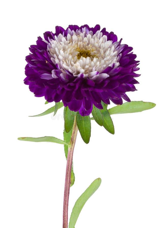 翠菊查出的紫色白色 免版税库存图片