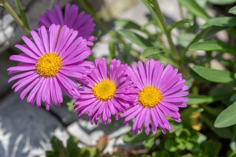 翠菊浅紫色的头状花序顶视图  库存图片