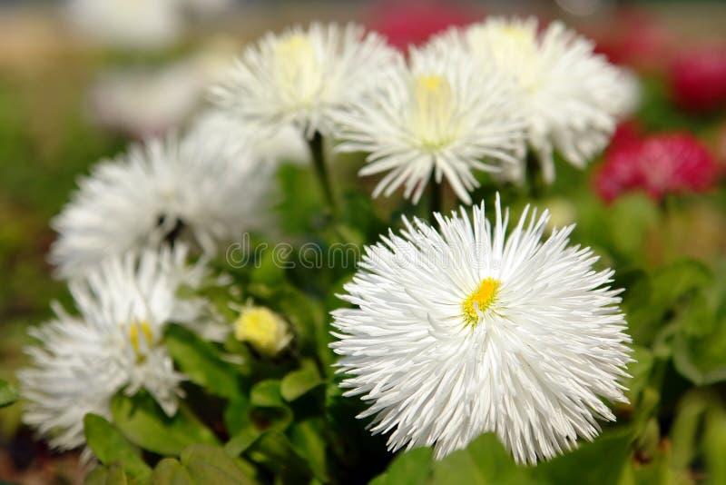 翠菊白色 库存图片