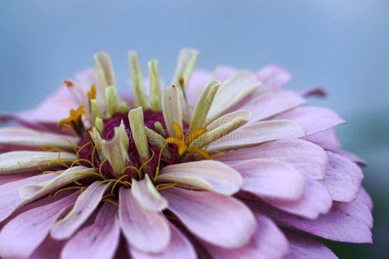 翠菊紫罗兰色开花-在花药的选择聚焦 免版税库存图片