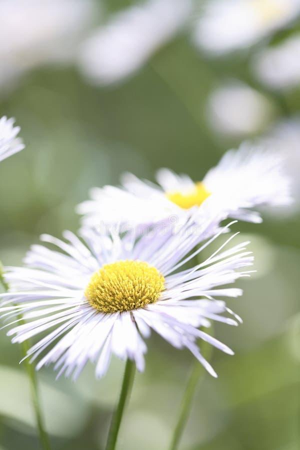翠菊雏菊白色 免版税图库摄影