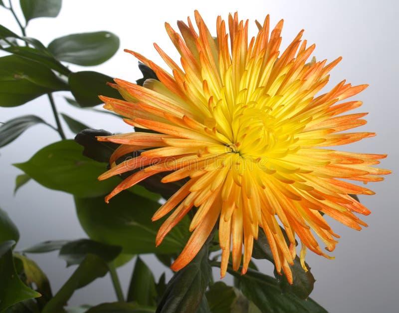翠菊黄色 库存照片