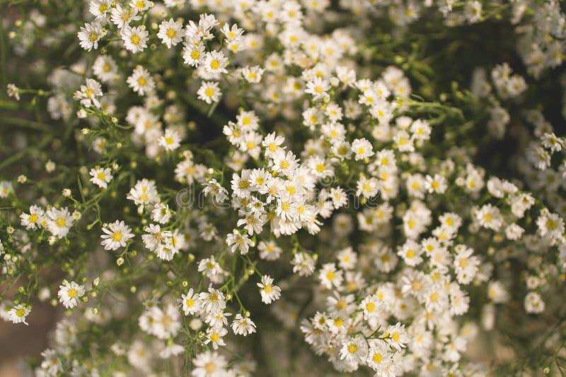 翠菊ericoides或白色切削刀花 免版税库存图片
