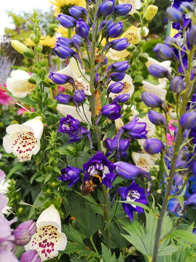 翠雀elatum在庭院里 在bluedelphinium的土蜂 免版税库存图片