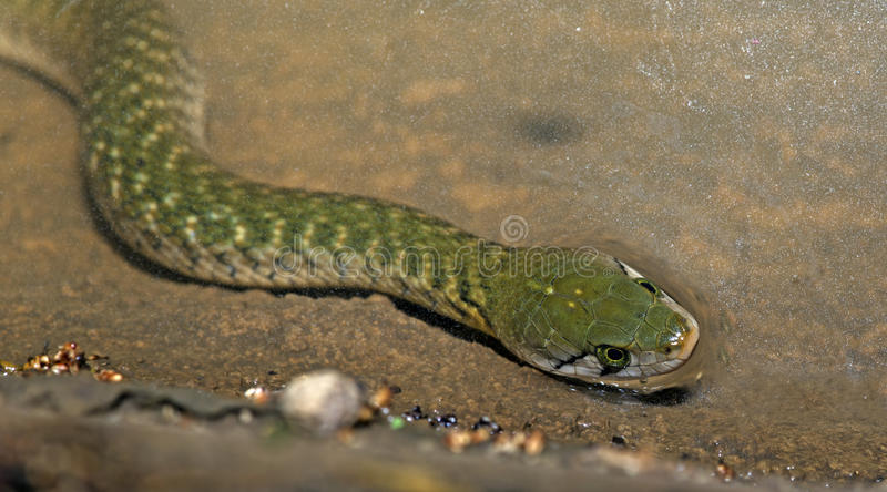 翠青蛇,方格的Keelback 库存图片