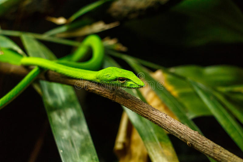 翠青蛇结构树 库存图片
