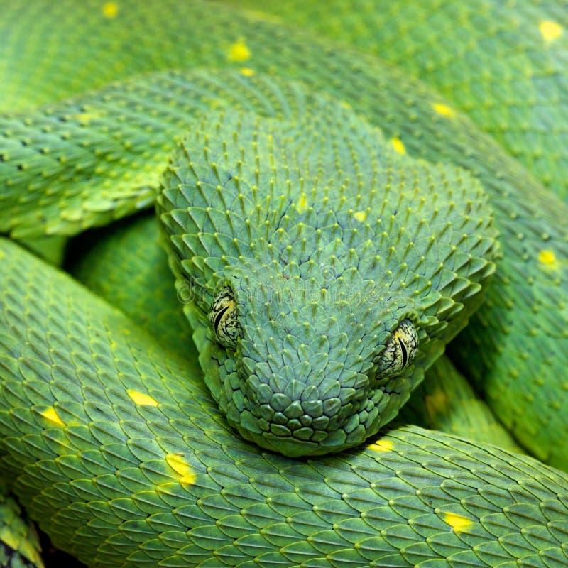 翠青蛇Atheris chlorechis头  图库摄影