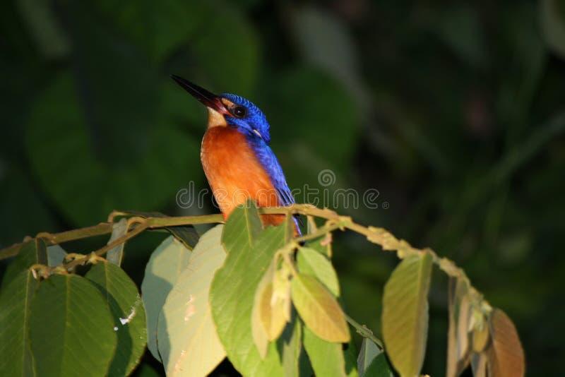 翠鸟在晚上 免版税图库摄影