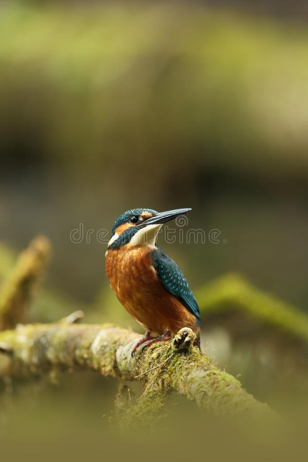 翠鸟属atthis 它遍及欧洲发生 寻找缓慢流动的河 图库摄影