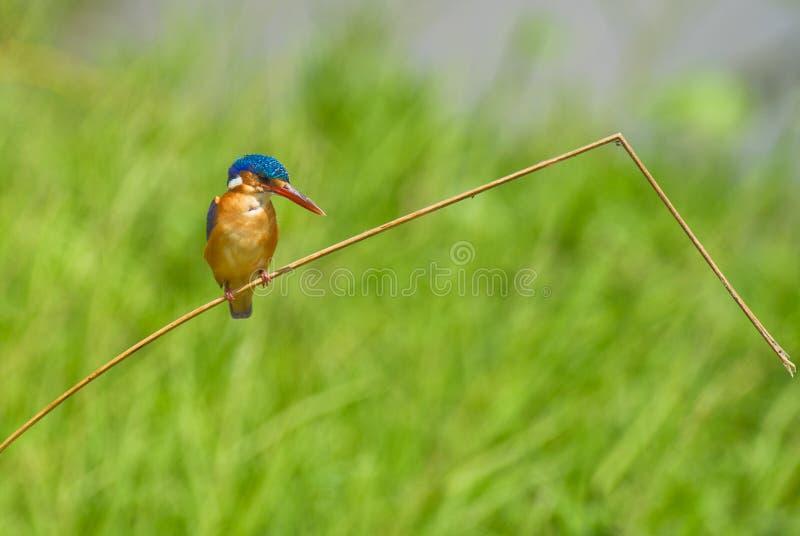 翠鸟绿沸铜 免版税库存照片