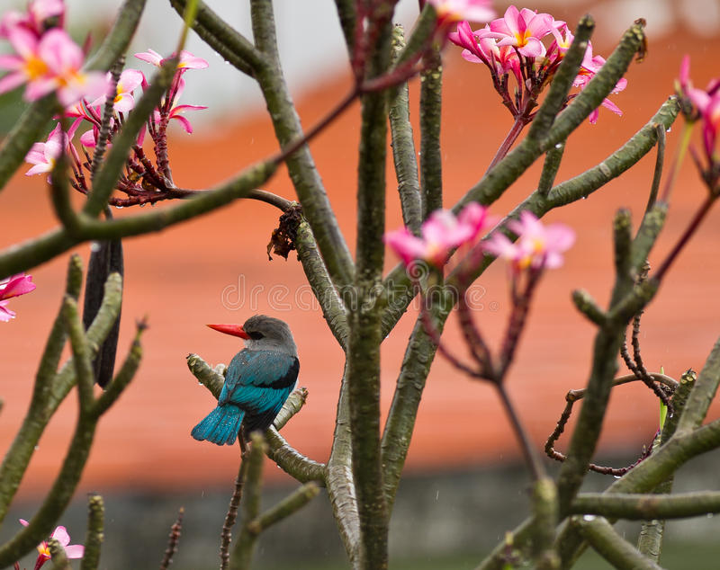 翠鸟美洲红树 库存图片