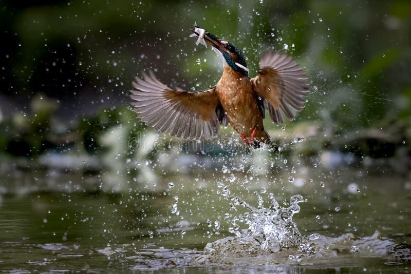 翠鸟跳进饲料的水 免版税库存图片