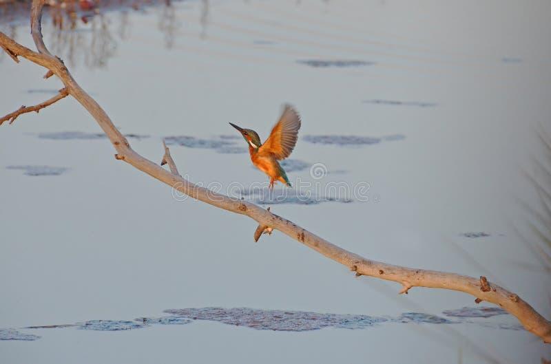 翠鸟飞行在沼泽 库存照片