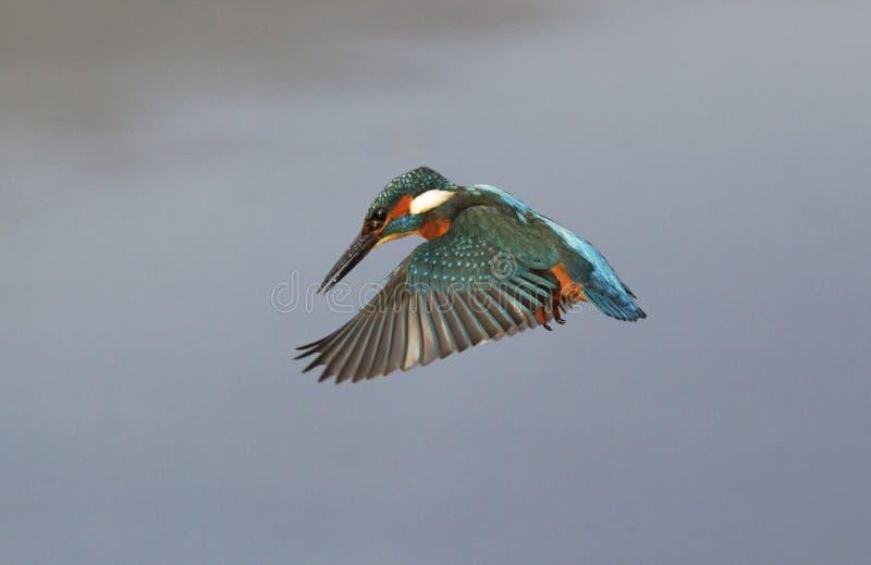 翠鸟,翠鸟属atthis 图库摄影