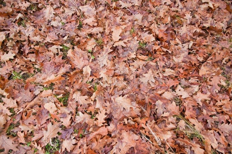 老下落的橡木在秋天领域,季节性五颜六色的背景纹理照片离开 库存照片