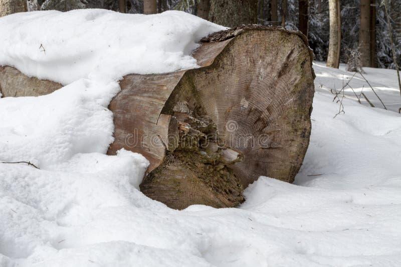 老云杉的击倒的树干 库存图片