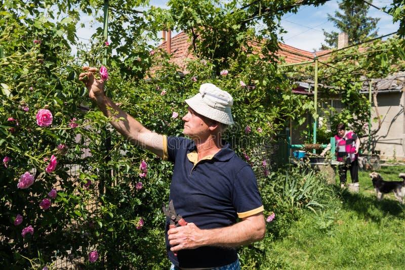 Download 老人切口玫瑰 库存图片. 图片 包括有 绿色, 成人, 工厂, 庭院, 繁忙, 户外, 修剪, 农夫, 成熟 - 72352705