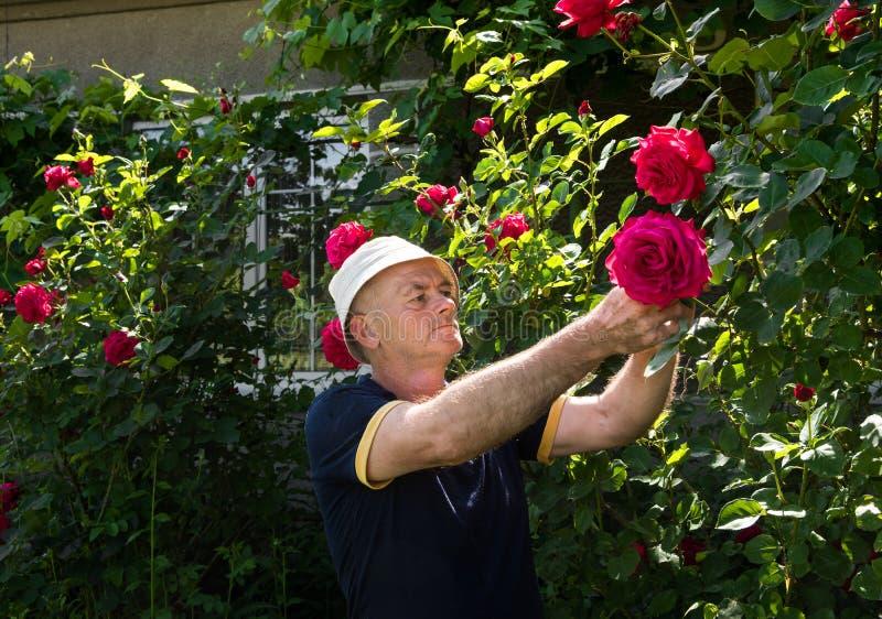Download 老人切口玫瑰 库存照片. 图片 包括有 职业, 人们, 工厂, 报废, 成熟, 修剪, 季节, 春天, 生活方式 - 72355696