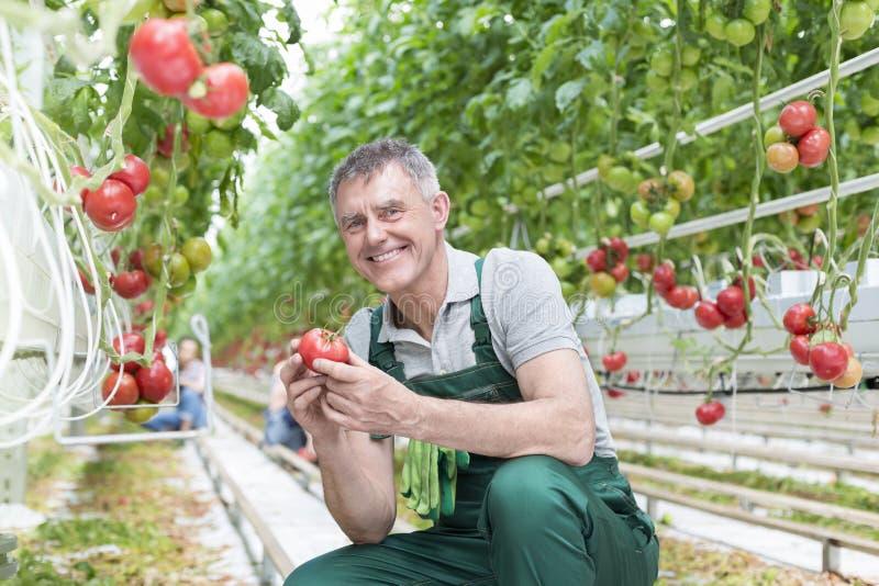老人在温室的藏品蕃茄画象  免版税库存照片